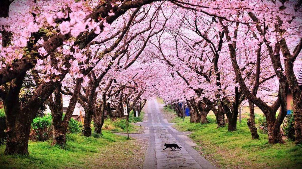 sakura o flor de cerezo japones