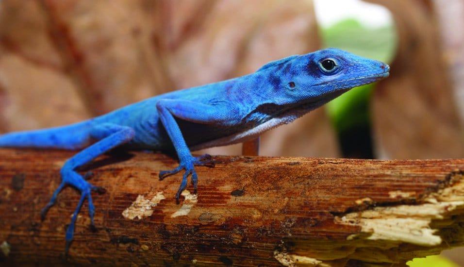 especie de lagarto azul de la isla gorgona
