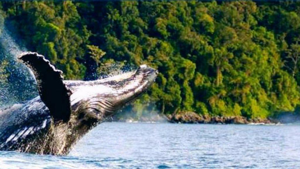 Ballenas en isla gorgona