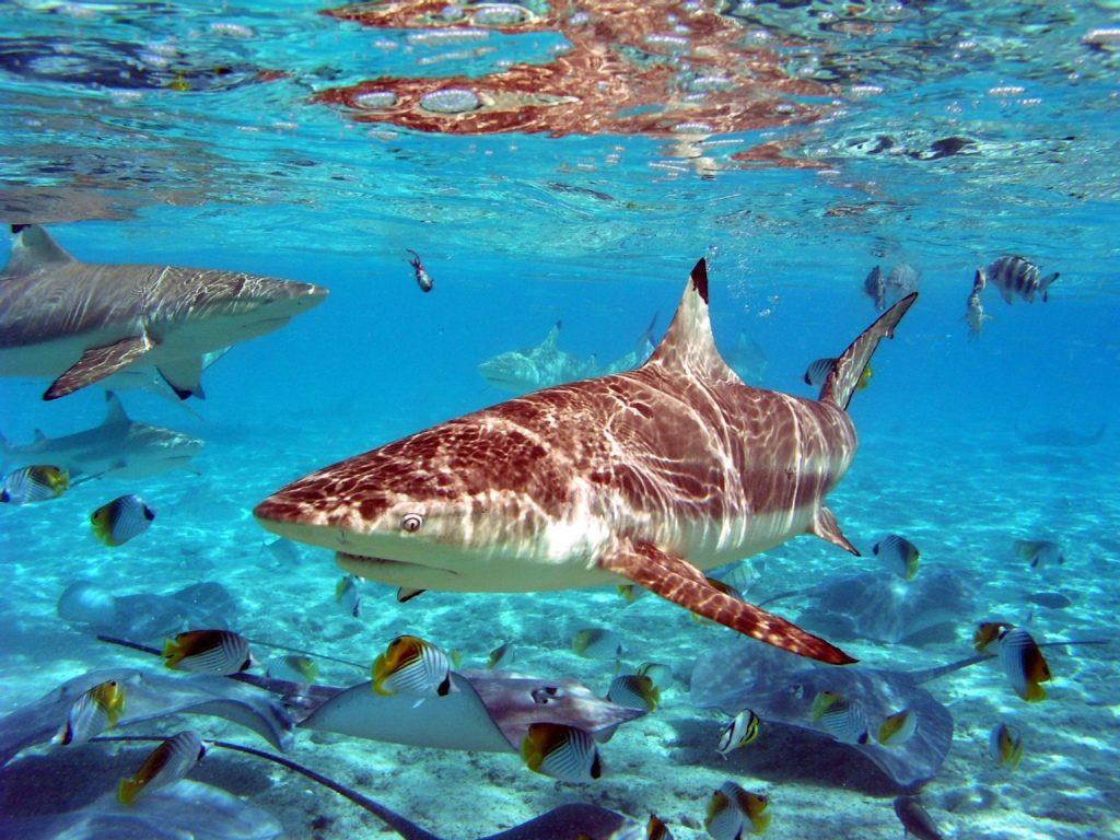 tiburones en bora bora